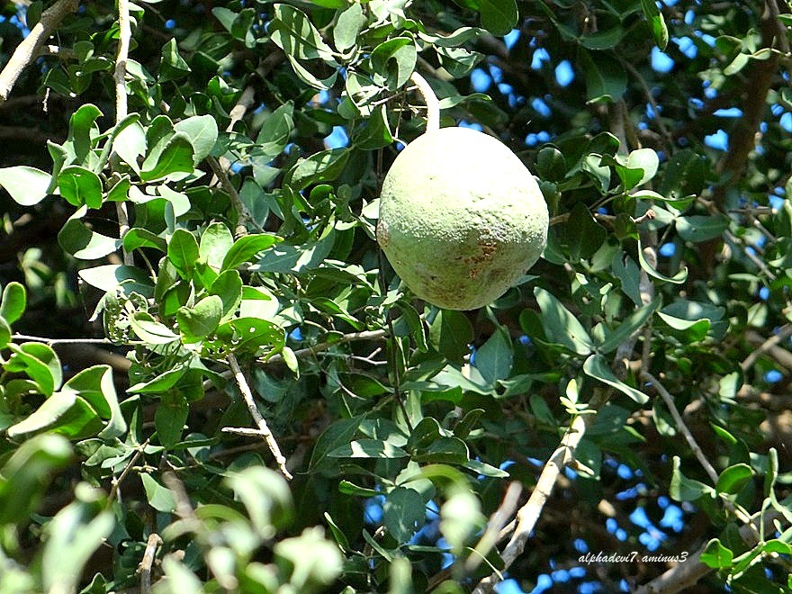 A single vilva fruit