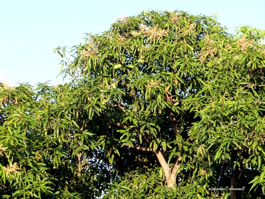 The mango tree 1