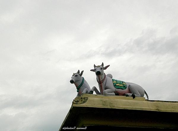 The sacred bull  4