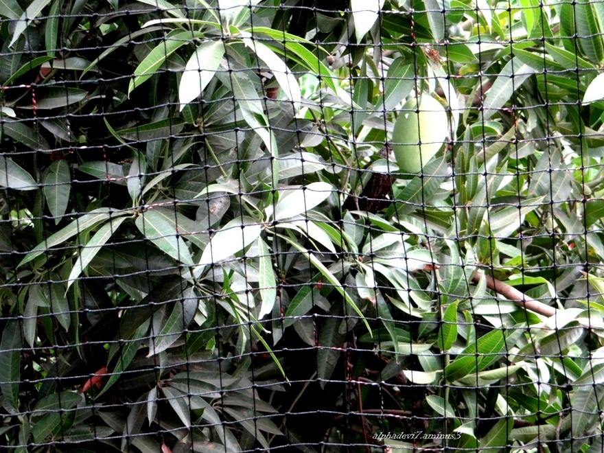 The mango behind the mesh :))