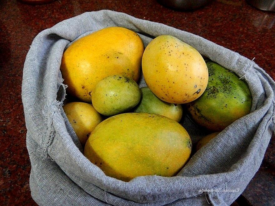 Ripening mangoes  1