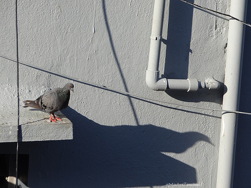 The Pigeon and its shadow. ....   2