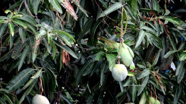 The parakeet has its fruit   1