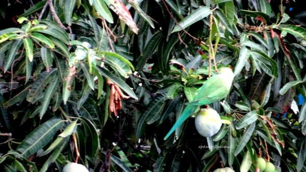 The Parakeet has its fruit   3