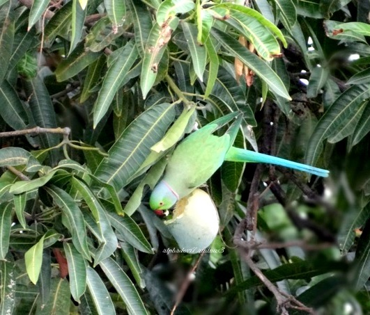 Parakeet and the Mango 2