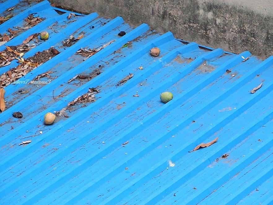 The fallen mangoes