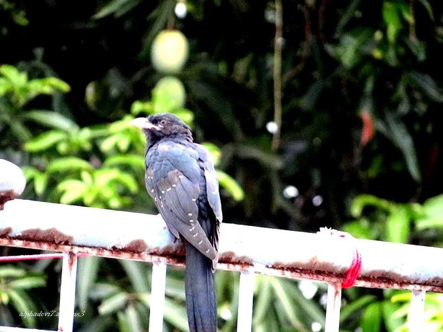 The baby cuckoo   1
