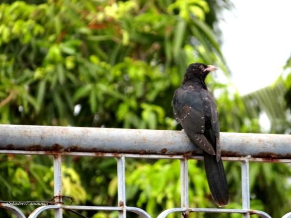 Baby Cuckoo   2
