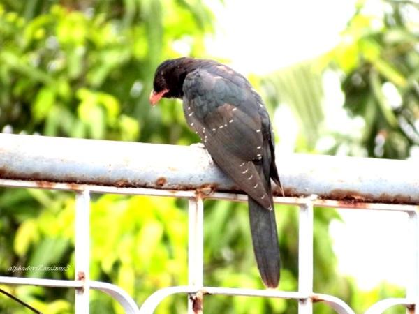 Baby Cuckoo 3  Cuckoo Kid ?