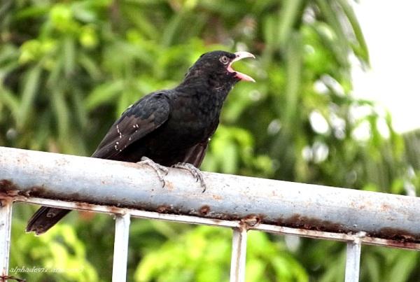 Cuckoo Kid  4