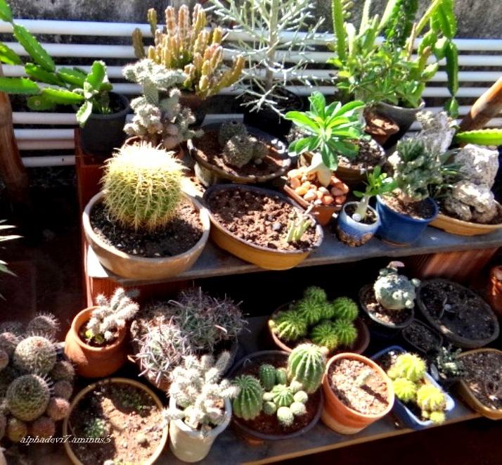 An array of Cacti