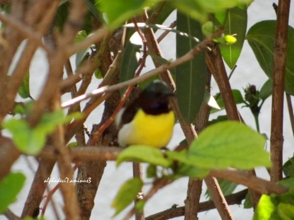 That elusive sunbird ....