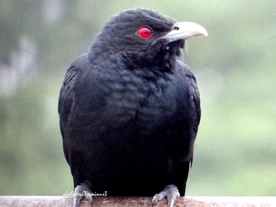 Babu Cuckoo  3