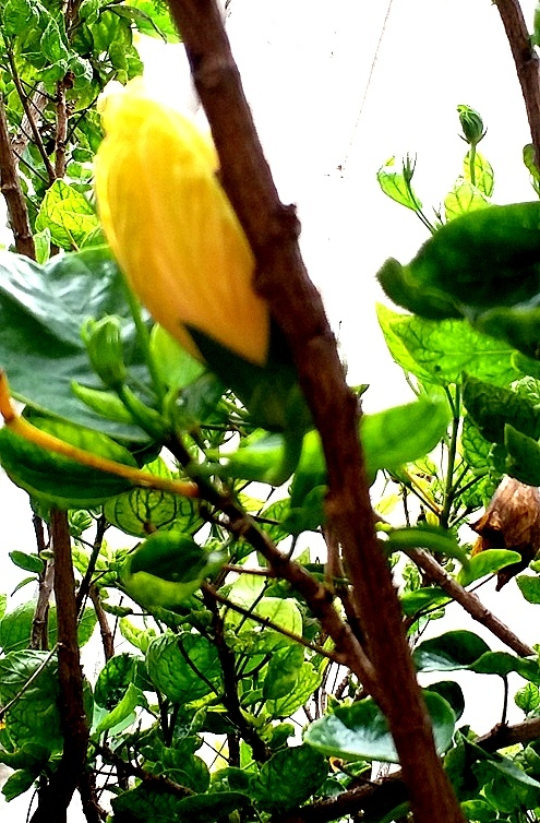 The peeping yellow bud:))