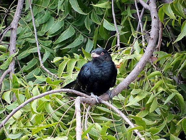 The Cuckoo again :)))
