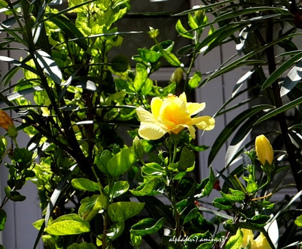 The yellow one blooms:))
