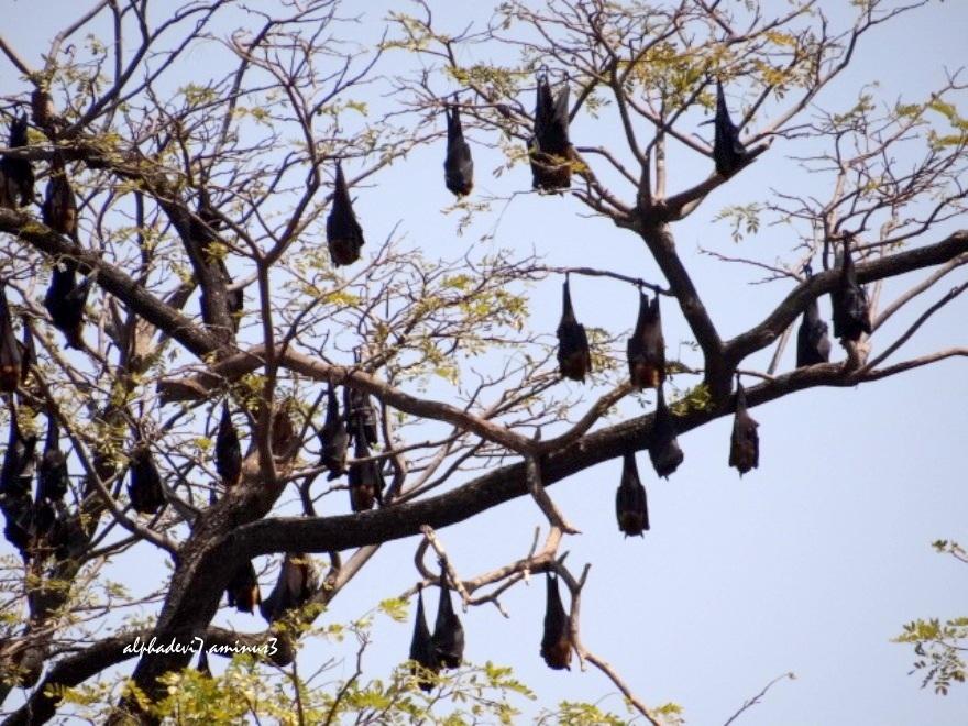 Tha Bat family   3