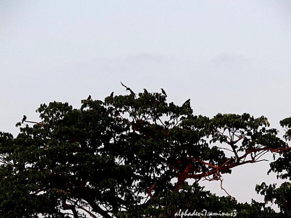 The poinciana tree 2