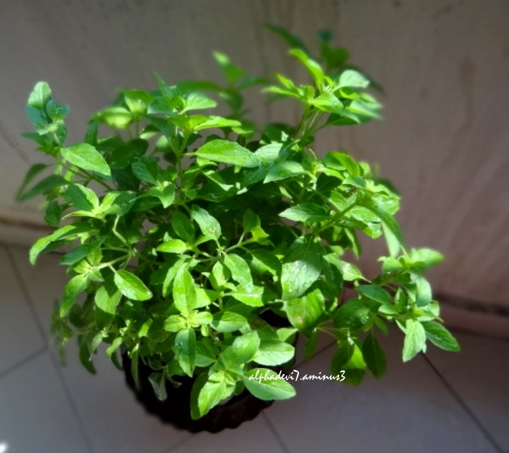 The Potted Basil....