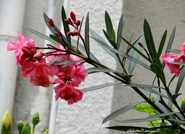 The Pink Oleander Flowers...