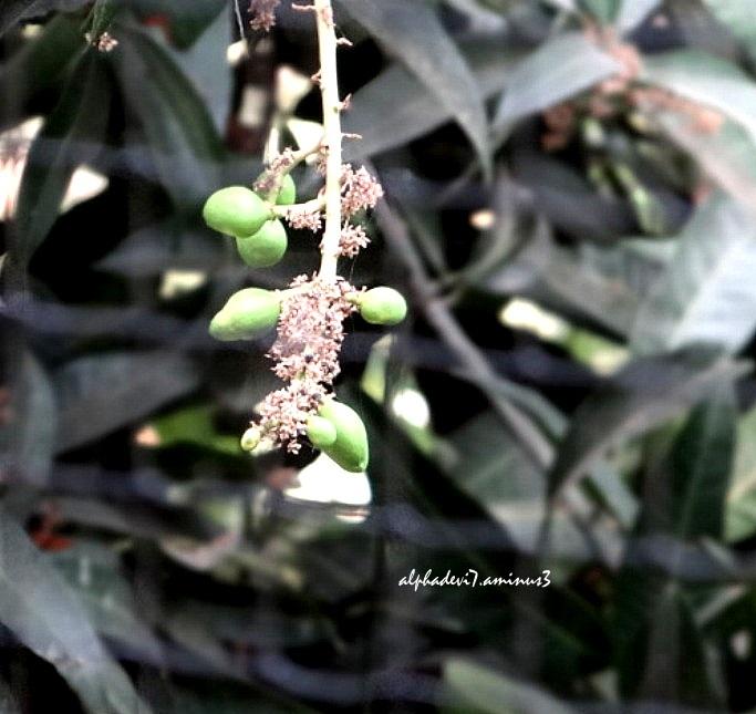Small Mangoes...