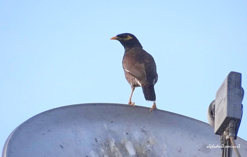 Now it is the mynah's turn ....
