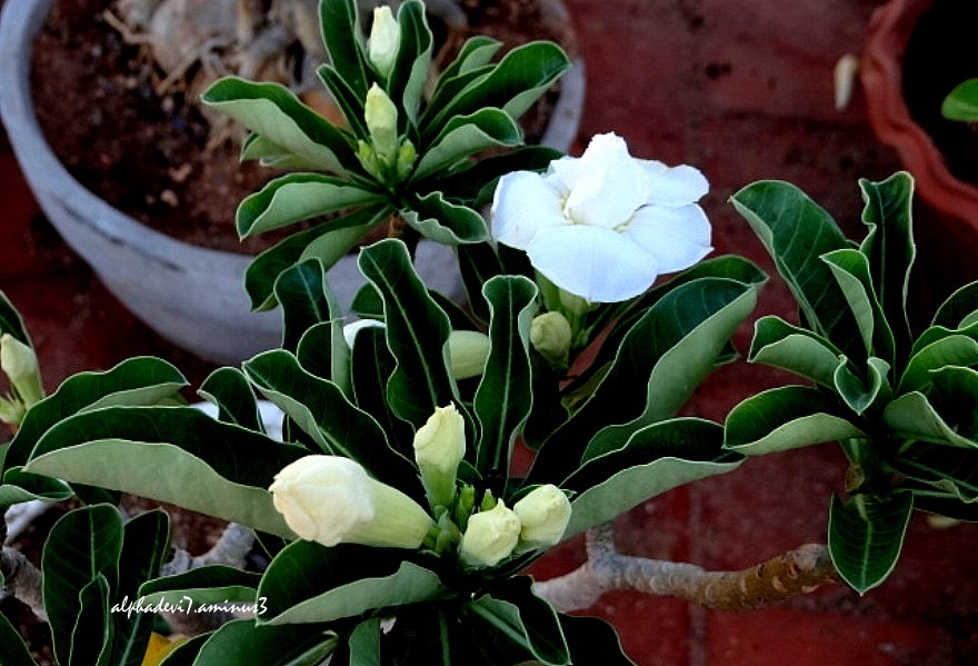 The pure white buds and blossoms...