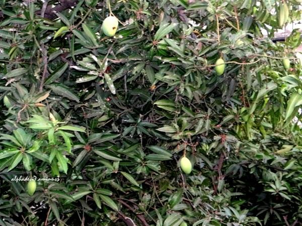 Mango tree in the backyard   1