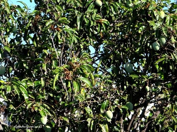 The mango tree in the backyard  3