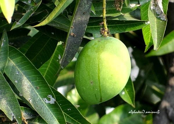 A Single Huge Mango :)))