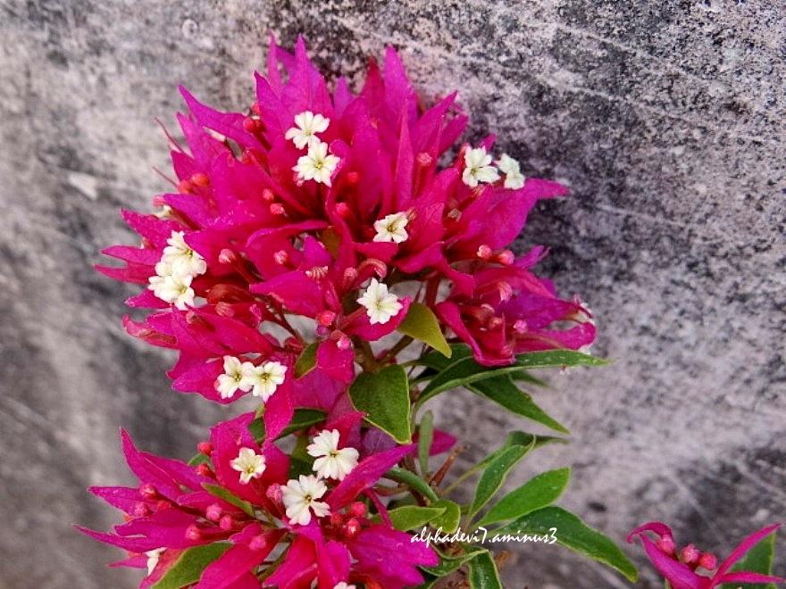 Bougainvillea flowers   1