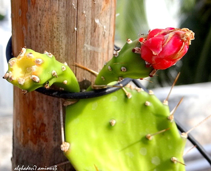 The Cactus Blooms...