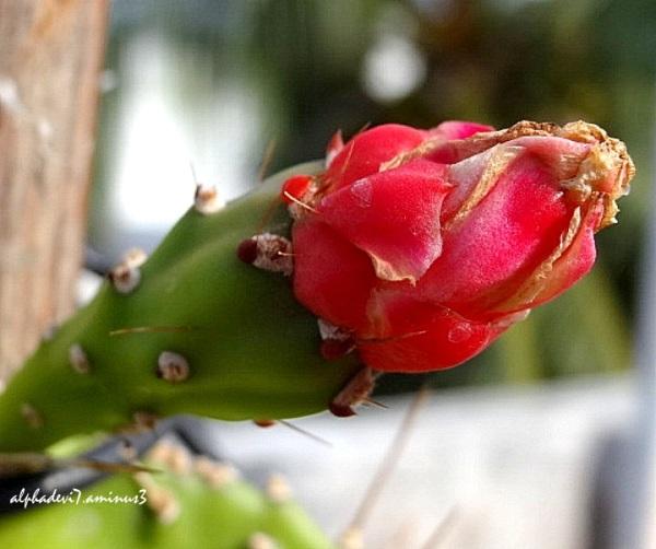 The Cactus Blooms  2