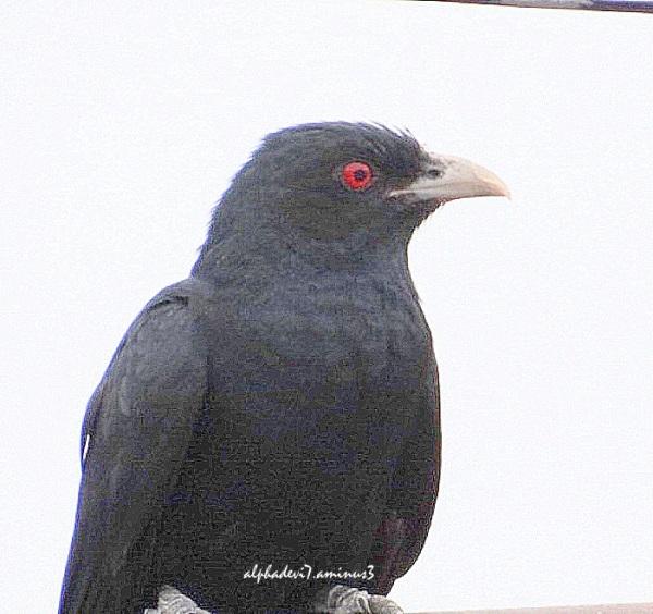 Cuckoo  a closeup:))