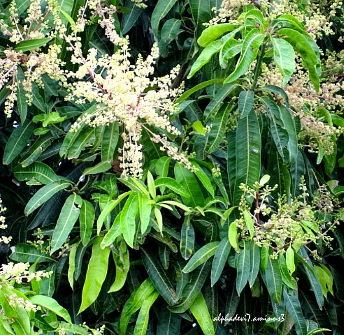 The Mamngo Tree with flowers