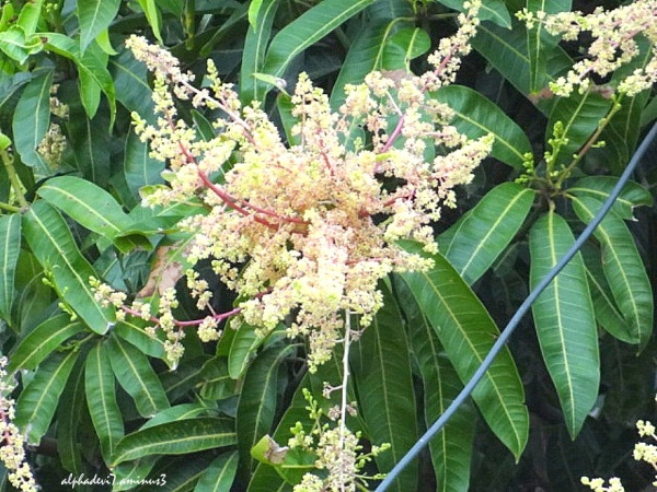 The Mango tree with flowers...