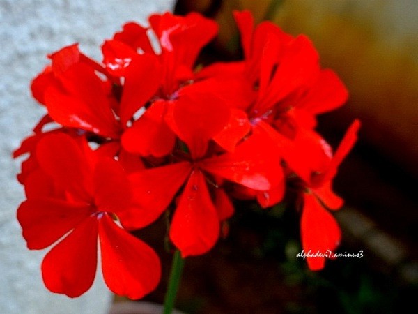 The Red Flowers Closeup :)))