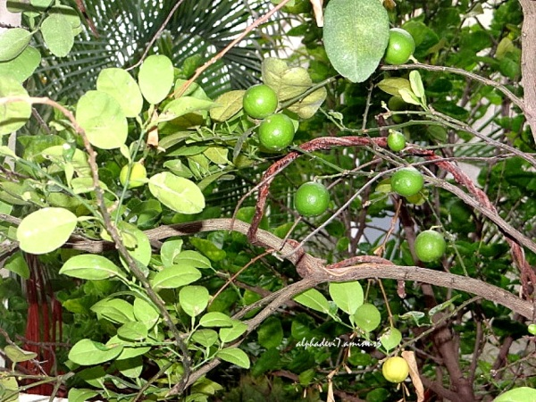 Limes..