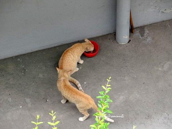 Light brown cats   2