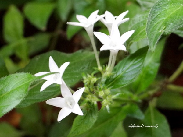 The White Star Flowers...