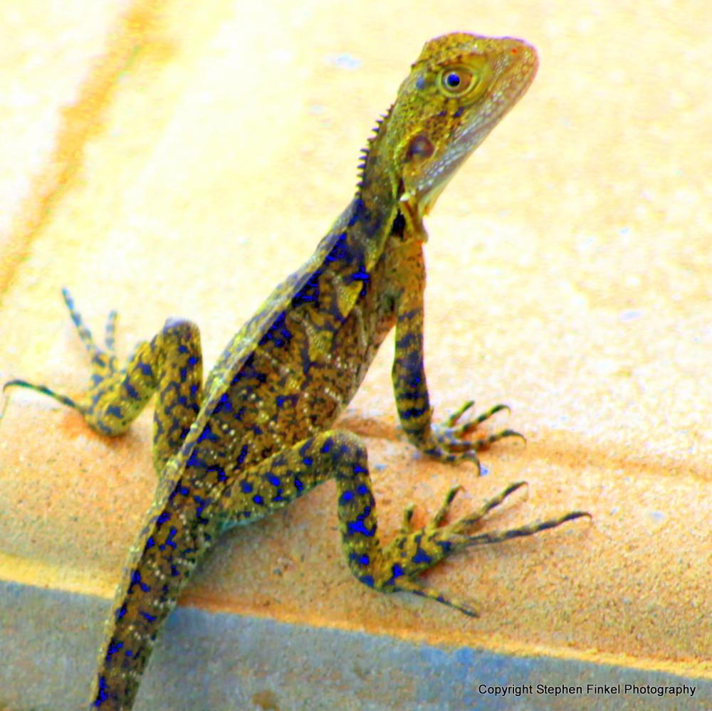 Gecko Feeling Blue