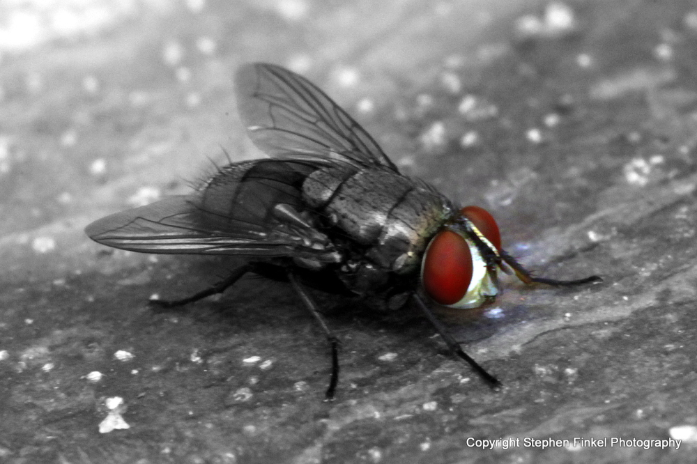 Red Eye Fly