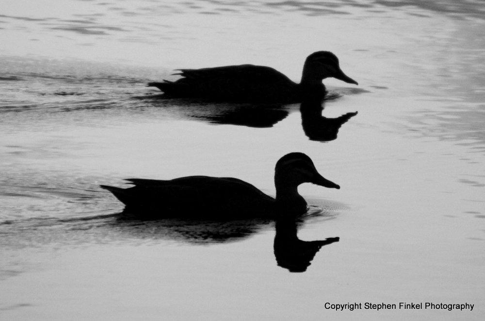 Two Headed Ducks