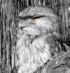 Tawny Frog Mouth
