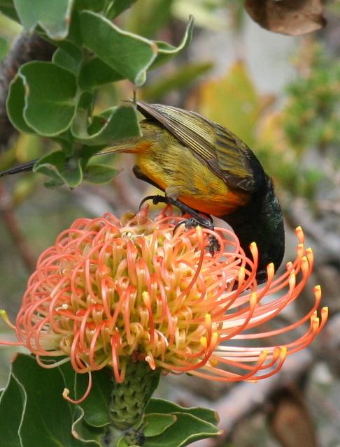 Sucking nectar