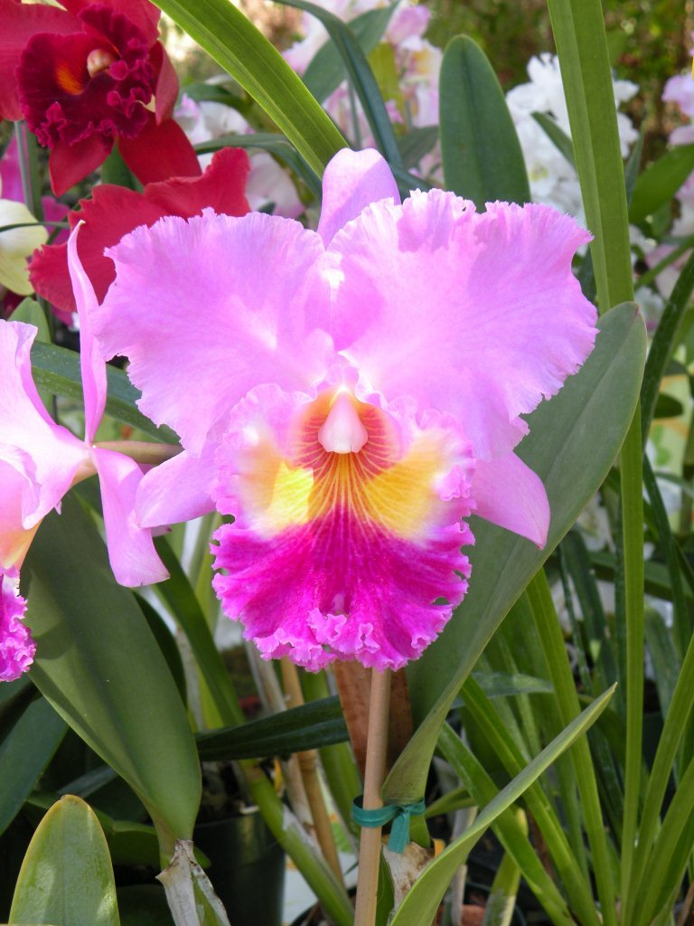 Cateleya Orchid flower