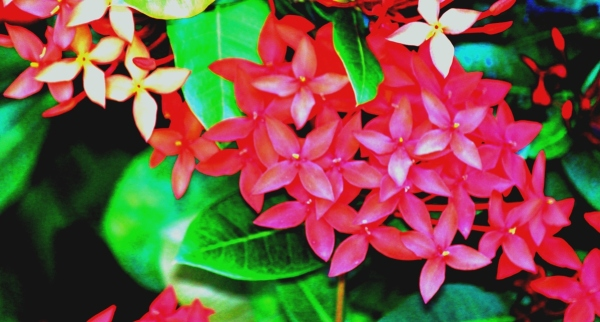 Red Flowers Cuba, Vibrant