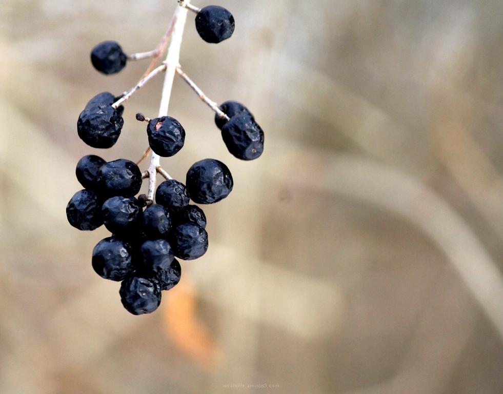 Blue, close up, berries, frozen, black