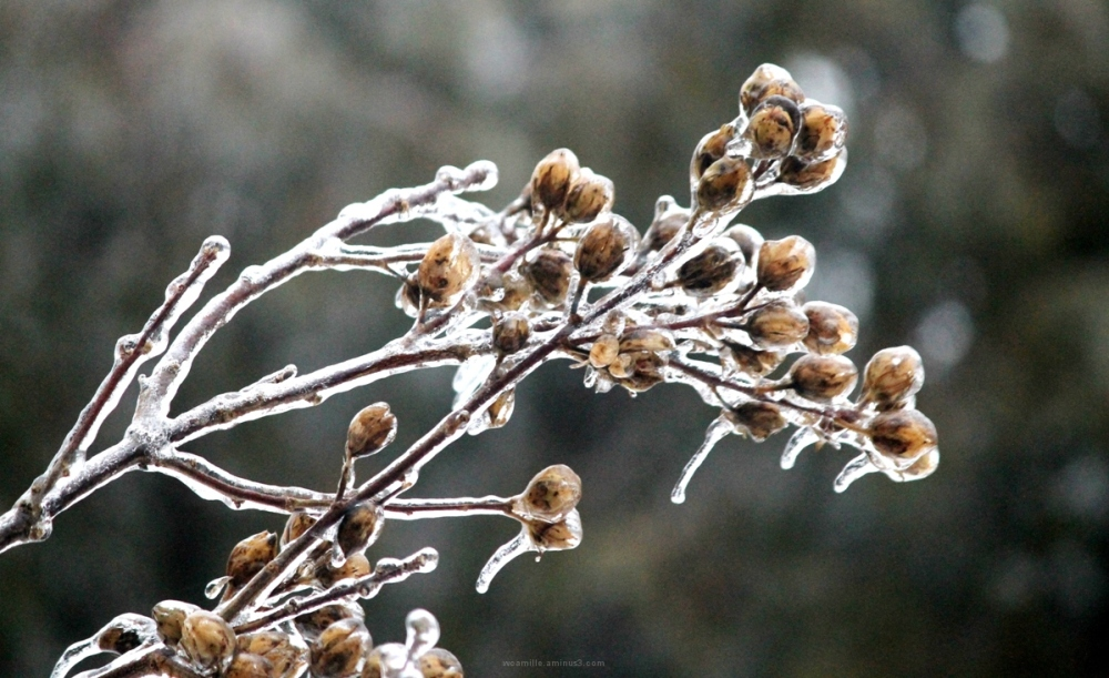 ICE STORM, ICECYCLE, FROZEN, ROSE OF SHARON, Winte