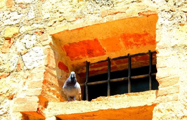 Montereggoni, pigeon, window
